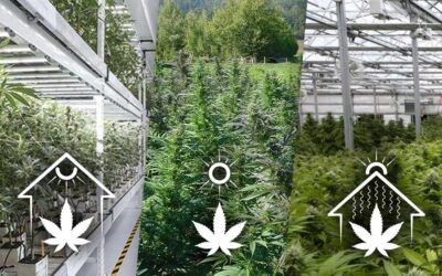 Cannabis Indoor, outdoor e greenhouse: quale è migliore?