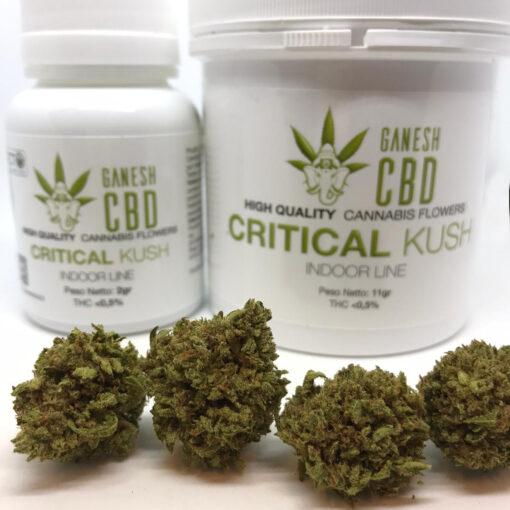miglior cannabis legale in italia critical kush cannabis legale cbd ganesh marijuana legale indoor