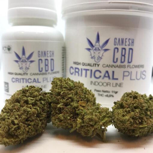 critical plus dinafem miglior cannabis legale in italia cannabis legale cbd ganesh marijuana legale indoor
